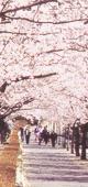 菊池神社参道の春